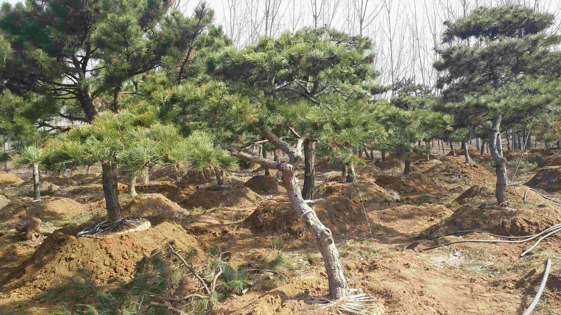 造型松树如何移栽成活率才能有保障?―山东造型松