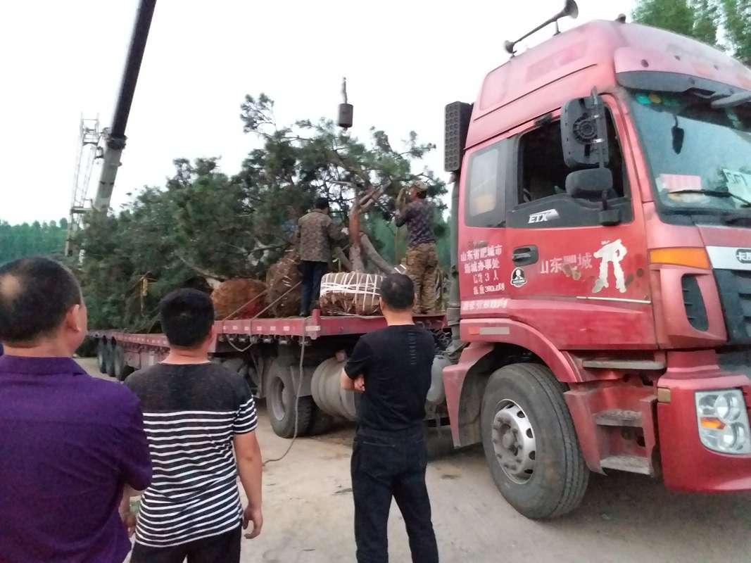 山东造型松树发往河南正在装车