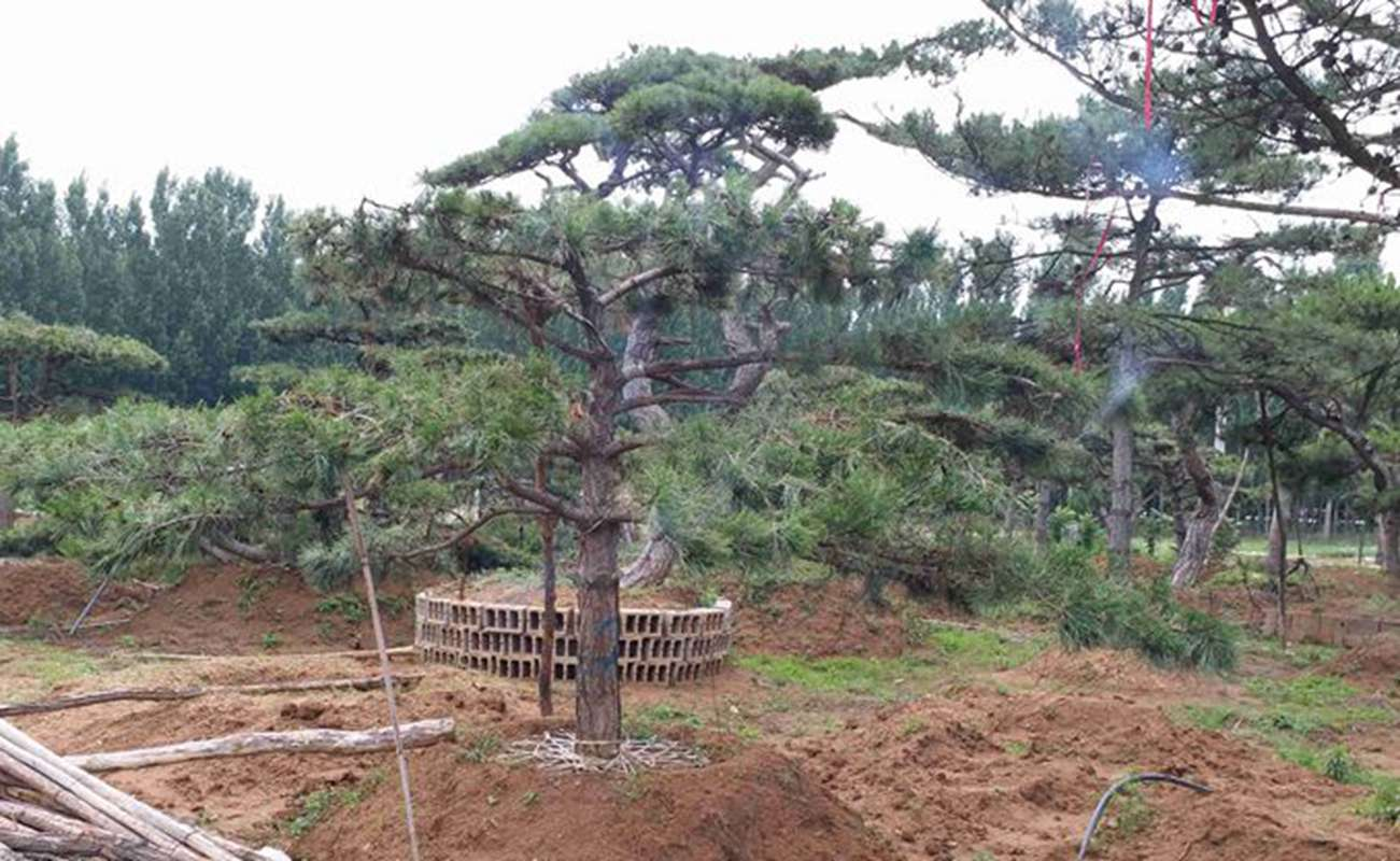 工程造型松树